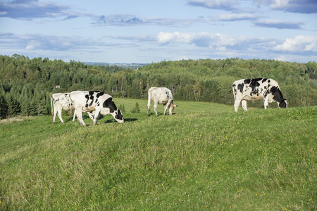 Young Holstein cows grazing in a field on a beautiful summer afternoon