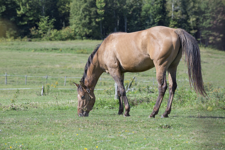 Beautiful buckskin horse grazing in a field located in Quebec, Canada.