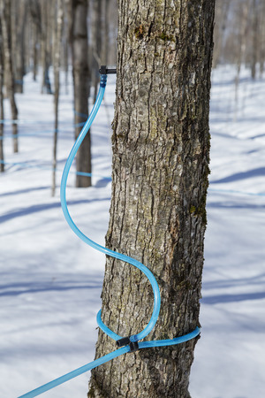 Modern mothod used for collecting maple sap