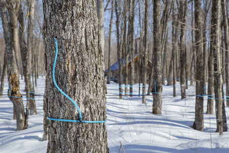 Modern method used for collecting maple sap