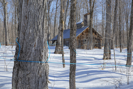 Old abandoned sugar shack in a sugar bush