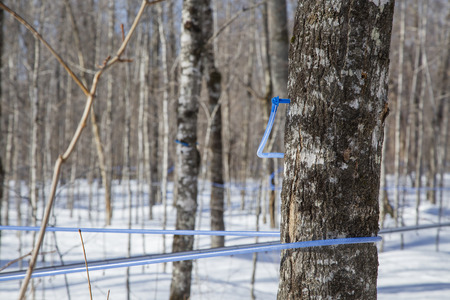 Plastic tubes attached to maple tree to collect maple sap