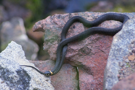 The snake (grass snake) lies on stone. Snake dark gray with yellow spots on the head. Head the snake marked on its tail. Stock fotó