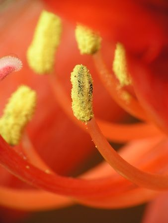 gynoecium: A gynoecium with farina in a red flower