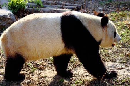 Closeup of a panda Stock Photo