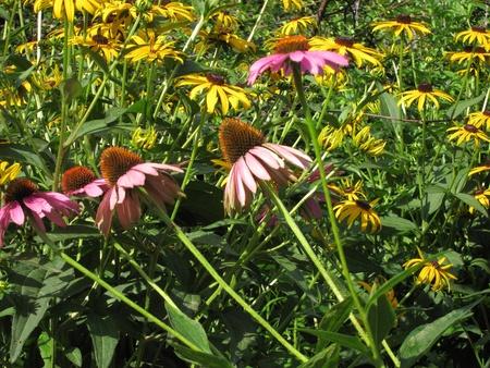 Closeup of chrysanthemum Stock Photo