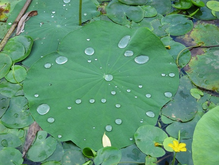 Drops on the lotus leaves Stock Photo