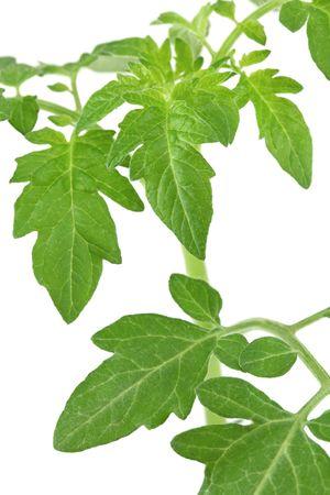 在白色背景隔绝的绿色蕃茄叶子,浅DOF