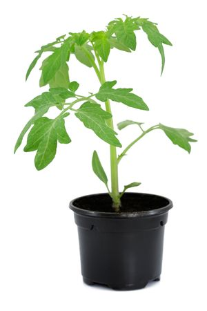 New tomato sprout in black pot isolated on white Stock Photo - 4807081