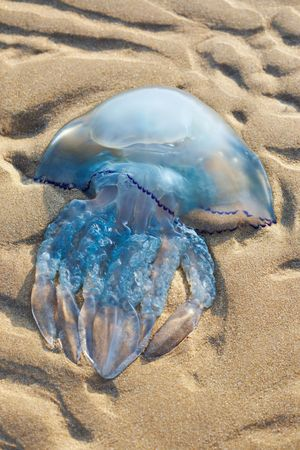 stinger: A full and large jellyfish sits on the beach Stock Photo