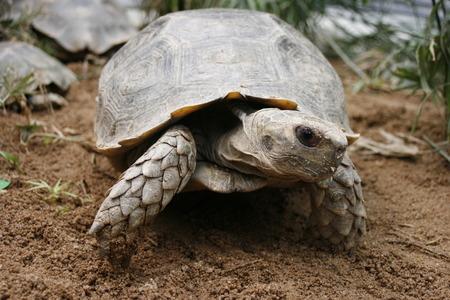 emys: Asian forest tortoise Manouria emys, also known as Asian brown tortoise Stock Photo