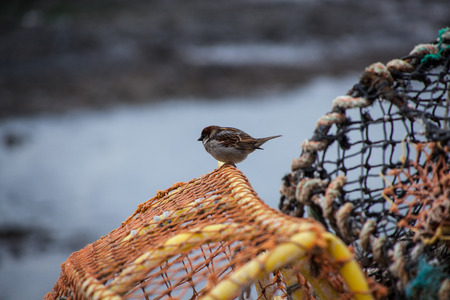 lobster pots: Sparrow picking over some lobster pots, Scotland