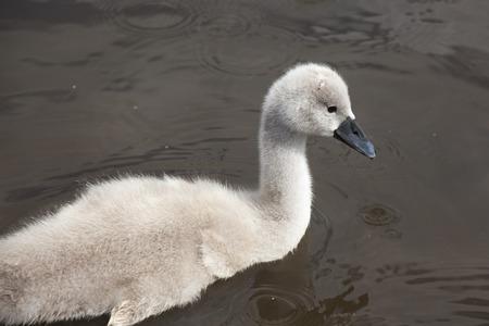 cygnet: Swan cygnet