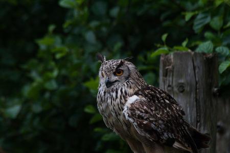 bengalensis: Bengal Eagle Owl (Budo bengalensis)