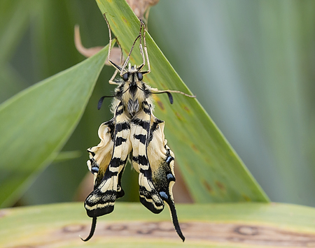 insecta: Tiger swallowtail butterfly and green leaves