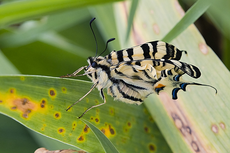 Tiger swallowtail butterfly and green leaves