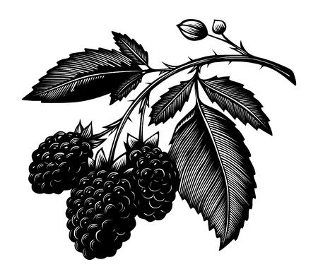 blackberry branch Vector