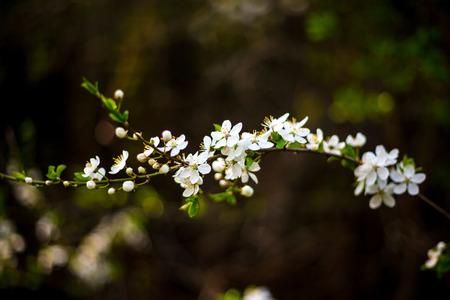 florescence: Apple tree blossom