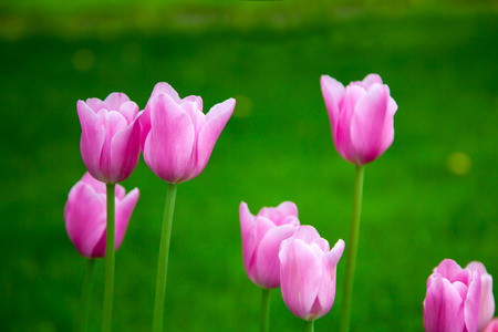 rose coloured: Pink tulips Stock Photo