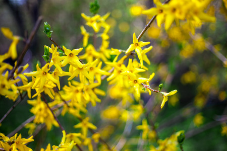 blossoming yellow flower tree: Forsythia branches Stock Photo