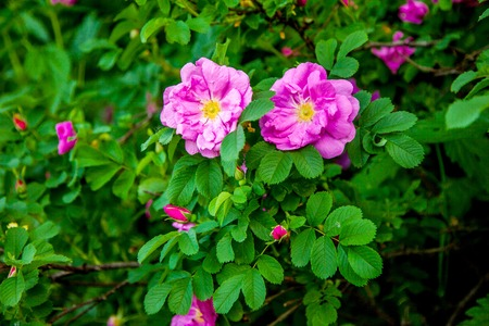Two wild roses on the green bush photo