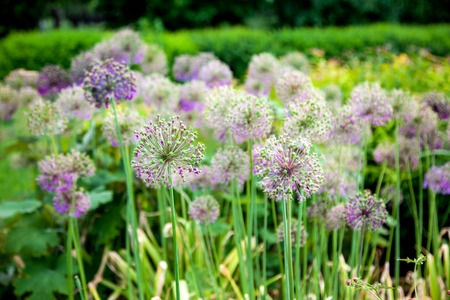 ramosum: Chinese chives in the green public park Stock Photo