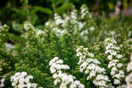 primavera: White flowers of Lobularia maritima called Alyssum maritimum Stock Photo