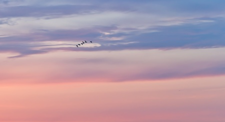 geese fly in the sky of dawn photo