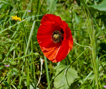 red poppies on a green background Stock Photo - 13130503