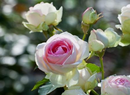 hart bloem: Bloemen witte roos met roze midden