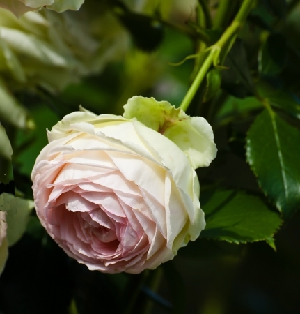 Flowers: white rose with pink middle photo