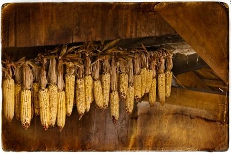 drying corn cobs: corn dries in the barn