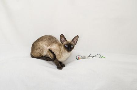 Cornish Rex cat, animals, pets, mustache, pets  Stock Photo