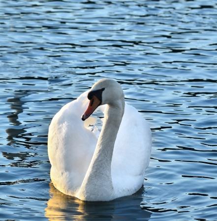 wei�er Schwan swiming auf See Lizenzfreie Bilder
