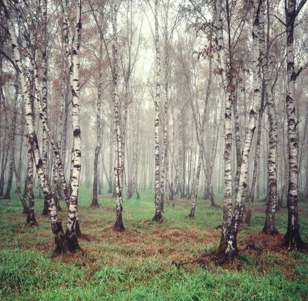 Birch B�ume im Nebel Lizenzfreie Bilder
