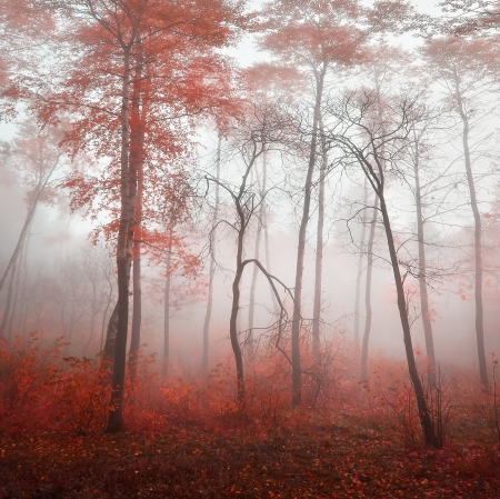red forest in fog