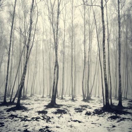 Birken im Nebel