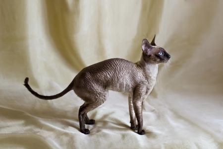 pedigreed Haustier Katze auf einem beige Hintergrund