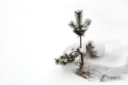 little pine nach dem Schnee