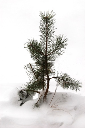 little pine after the snow Stock Photo