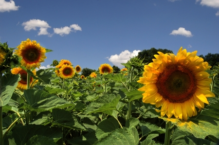 field with big yellow sunflower Stock Photo