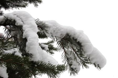 Zweig der Tanne nach dem Schnee