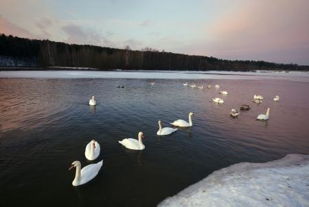 Schw�ne schwimmen und leben in der Winterfrost nicht gefrorenen See Lizenzfreie Bilder