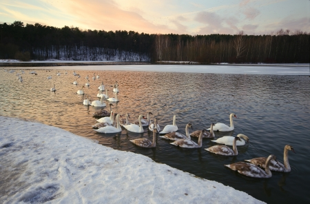 swans wintering of sparkling ice