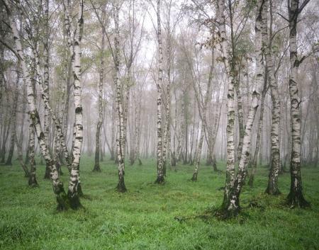 White birch on green grass in the spring mist