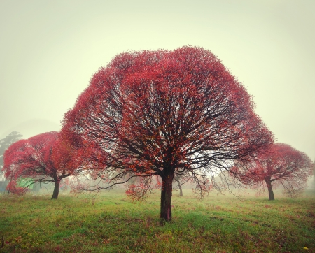 three trees with red leaves standing in the fog