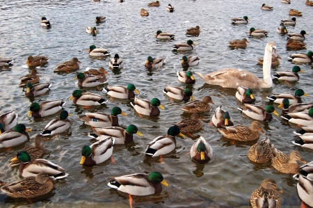 a lot of ducks on the lake