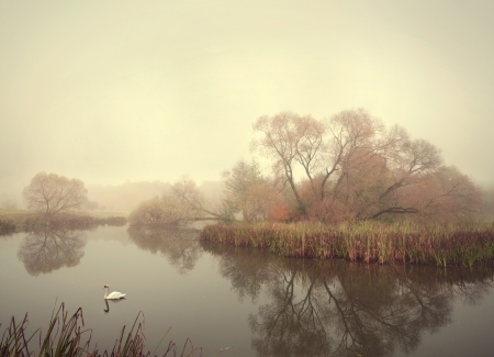 swan floating on the lake in the autumn of cattails