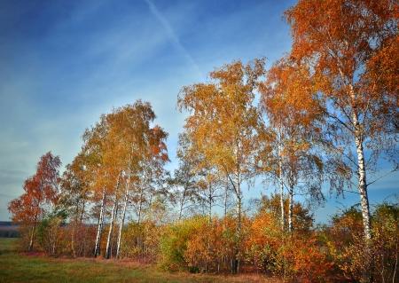 Autumn birch grove on a sunny day