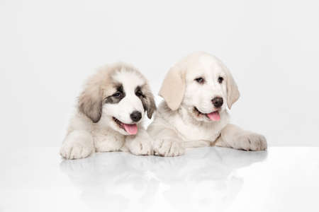 Two cute Central Asian shepherd puppies isolated on white background.
